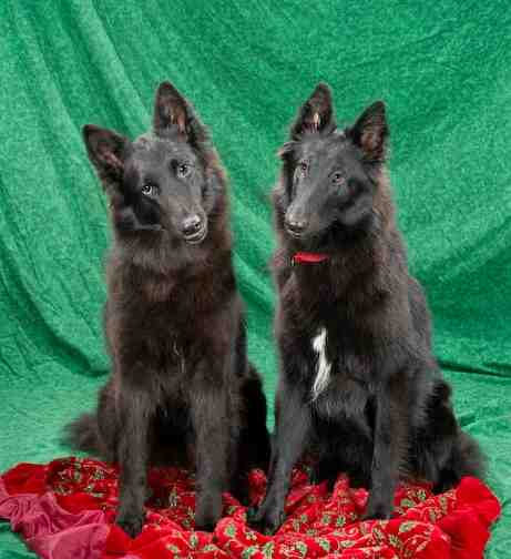 Shetara Akc Belgian Sheepdog Puppies And Adults Available